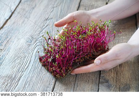 Microgreen Beet In Female Hands On A Wooden Background
