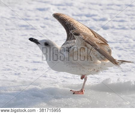 A Seagull At The Sea Does Morning Exercises. On The Ice, In The Cold Winter, The Seagull Stands On O
