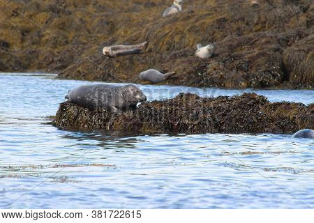 Harbour Seals Basking In The Sun On Seaweed In The Bay Of Fundy, New Brunswick, Canada