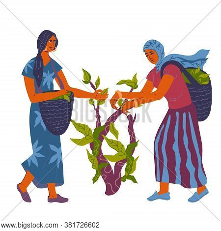 Tea Picking With Women Pickers At Plantation, Flat Vector Illustration Isolated.