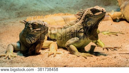 Two Chameleons Relaxing In Summer In The Zoo
