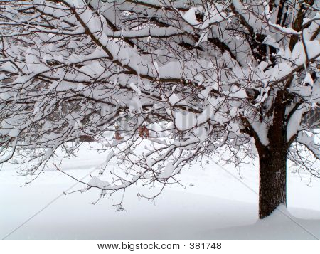 Pear Tree In Snow