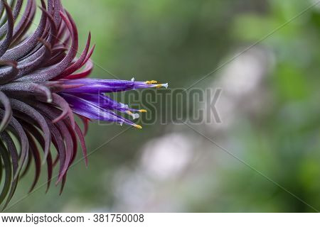 Purple Flowers And Yellow Pollen Of Tillandsia Ionantha Is Air Plant Hang In The Garden On Blur Natu