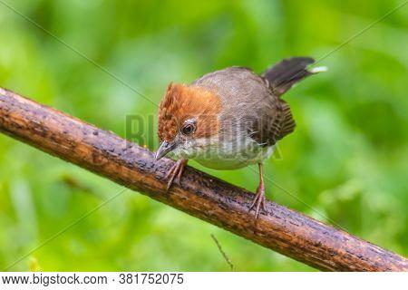 Nature Wildlife Endemic Bird Of Borneo Chestnut Crested Yuhina On Perch At Sabah, Borneo
