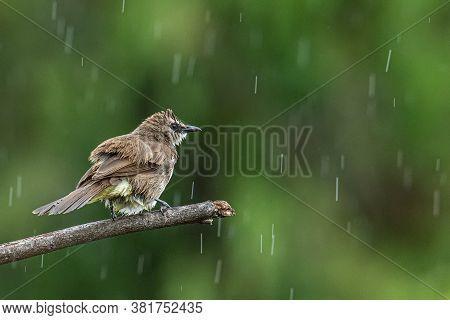 Nature Wildlife Bird Yellow-vented Bulbul Isolated On Green Background During Raining