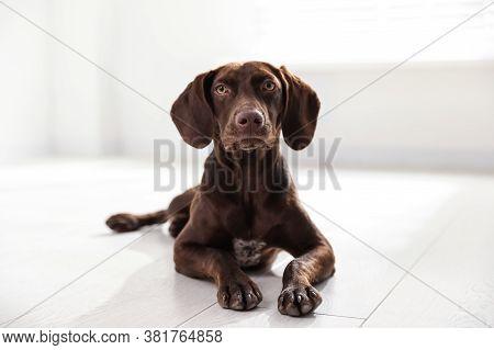 Beautiful Brown German Shorthaired Pointer On Floor Indoors