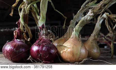 Fresh Large Onion Yellow And Purple Onions On A Very Old Oak Wooden Board Outdoors. Perennial Herb O
