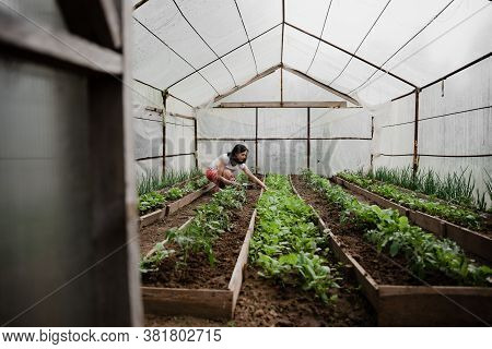 Smiling Middle-aged Woman Is In The Greenhouse And Picks Parsley And Onions,a Woman In A Greenhouse