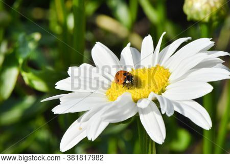 Ladybird On Daisy. Image About Summer  And Flowers. High Resolution Photo. Selective Focus. Shallow
