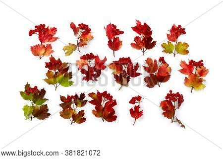 Red Autumnal Leaves And Berries Viburnum ( Viburnum Opulus ) On A White Background. Top View, Flat L