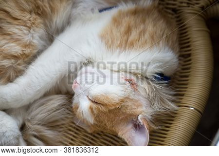 The Cat Sleeps With A Wound Healing Abscess On His Cheek After Surgery To Remove Pus.