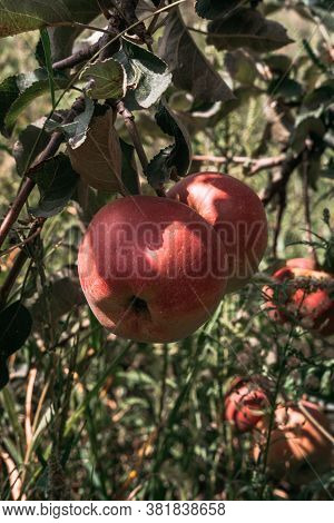 Apple Saved. Red Apples Grow On The Branch Of An Apple Tree. The Tree Is Strewn With Delicious Apple