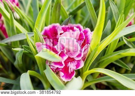 View Of One Dianthus Oscar Pink And Purple Carnations Are The Top Series Of Pot Carnations