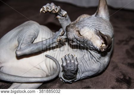 Sphinx Gray Cat Bites Herself On The Paw. Beautiful Hairless Sphynx Gray Kitten - A Girl.