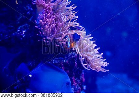 Nemo Clown Fish In The Anemone On The Colorful Healthy Coral Reef. Anemonefish Nemo Couple Swimming