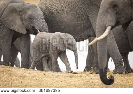 Baby Elephant Walking Amongst Its Herd On A Dry Sandy Riverbank In Kruger Park South Africa