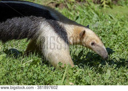 Southern Anteater Tamandua Tetradactyla, Standing On The Grass.