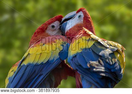 Parrots: Scarlet Macaw (ara Macao) , Parrots Couple