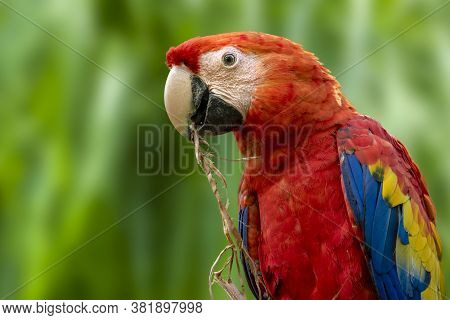 Parrots: Scarlet Macaw (ara Macao) , Close Up, Detail