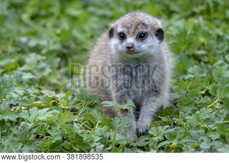 Young, Baby Meerkat Suricata Suricatta, African Native Animal, Small Carnivore.