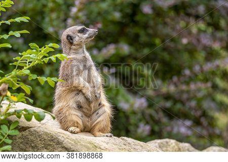 Portrait Of Meerkat Suricata Suricatta, African Native Animal, Small Carnivore.
