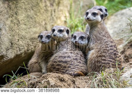 Meerkat Suricata Suricatta, African Native Animal, Small Carnivore.
