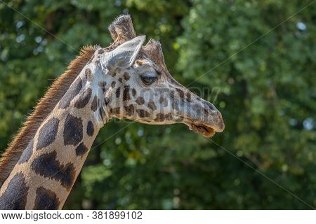 Closeup View Of Giraffe Face . Giraffe Couple