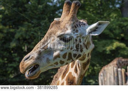 Closeup View Of Giraffe Face .portrait Of A Giraffe