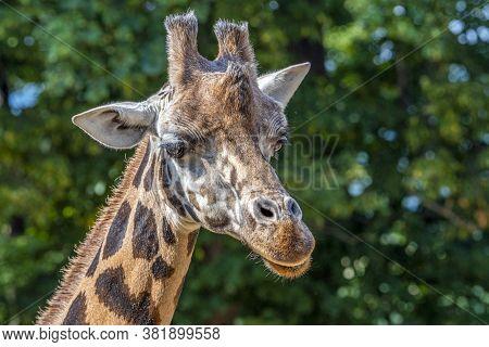 Closeup View Of Giraffe Face . Portrait Of A Giraffe