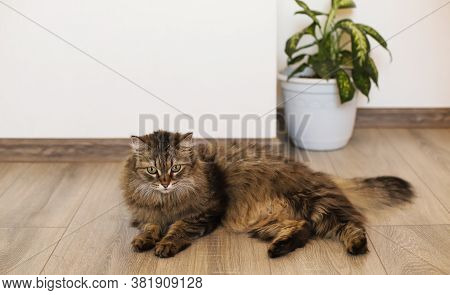 Fluffy Cat Lying On The Floor. A Fluffy Gray Cat Lies On The Brown Floor. Place For Text, Lettering.
