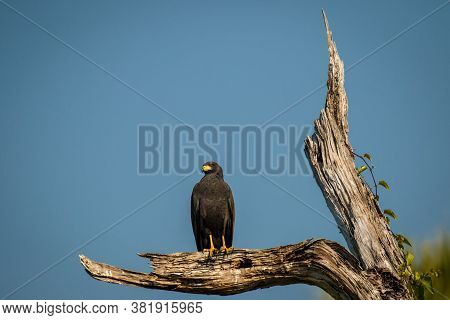Harris Hawk Sitting On The Branch Above Salty Lagoon In Puerto Escondido, Mexico