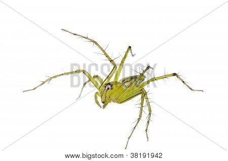 Lynx Spider Isolated (oxyopes)
