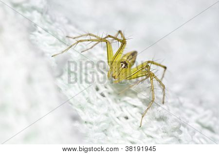 A Photo Of Lynx Spider That I Found In On A Swab.