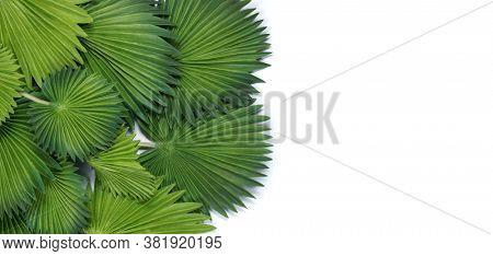 Green tropical leaves. Licuala grandis leaf (Fan Palm) tropical green