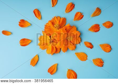 Three Orange Blossomed Buds Of The Kosmeya Flower And Petals Scattered Around Them On A Blue Backgro