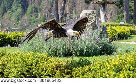 Portrait Of A Bald Eagle - Haliaeetus Leucocephalus With Nice Green Garden Background