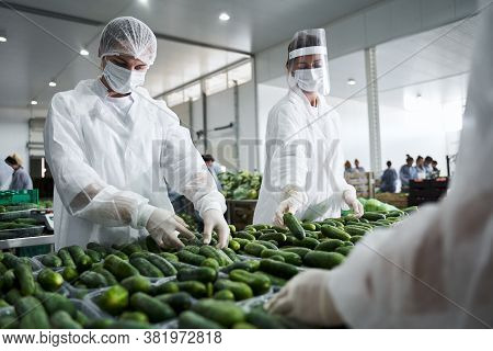 Female Workers Involved In Packing Fresh Vegetables