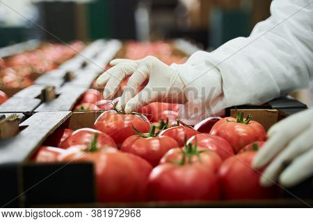 Packer Arranging Fresh Produce In Cardboard Boxes