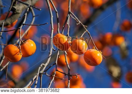 Persimmon Matures On The Tree. Ripe Persimmon Fruits Hang On A Tree Against The Sky. Persimmon Is A