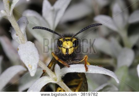 German Wasp Macro Closeup Portrait