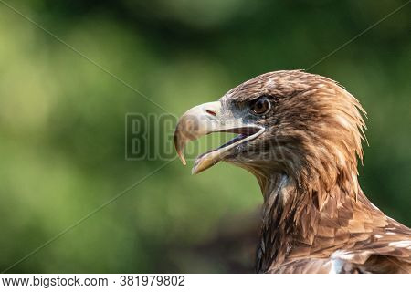 Close-up Portrait Of A Golden Eagle, A Large American Bird Taken Outdoors On A Natural Green Backgro