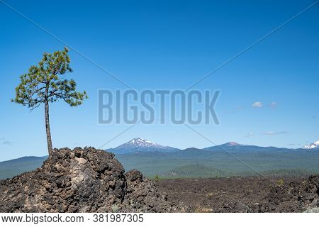 Lone Tree Grows Out Of The Lava Flow In Newberry Volcano National Monument, Mt Bachelor In Backgroun