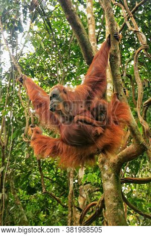 Female Sumatran Orangutan With A Baby Hanging In The Trees, Gunung Leuser National Park, Sumatra, In