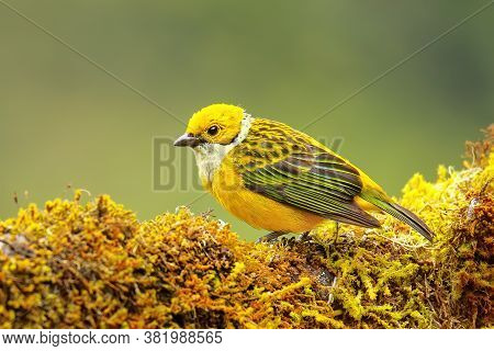 Silver-throated Tanager (tangara Icterocephala) Sitting On A Branch, Costa Rica