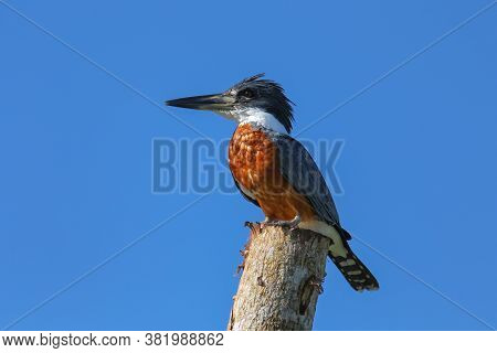 Ringed Kingfisher (megaceryle Torquata) Sitting On A Wooden Pole, Costa Rica