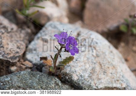 Femont Phacelia (p. Fremontii) Flower In The Desert Of Southern California, Among Rocks, Ilustrating