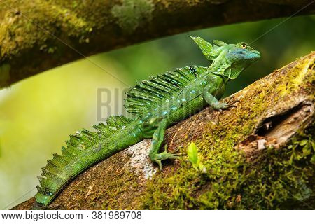 Male Plumed Basilisk (basiliscus Plumifrons) Sitting On A Log, Costa Rica