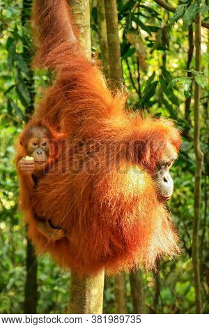 Female Sumatran Orangutan With A Baby Sitting On A Tree In Gunung Leuser National Park, Sumatra, Ind