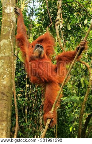 Female Sumatran Orangutan (pongo Abelii) Hanging In The Trees, Gunung Leuser National Park, Sumatra,