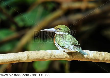 Male Green Kingfisher (chloroceryle Americana) Perched On A Tree, Costa Rica